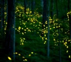 Firefly Extravaganza<br>May 31 & June 1<br>Gatlinburg, TN