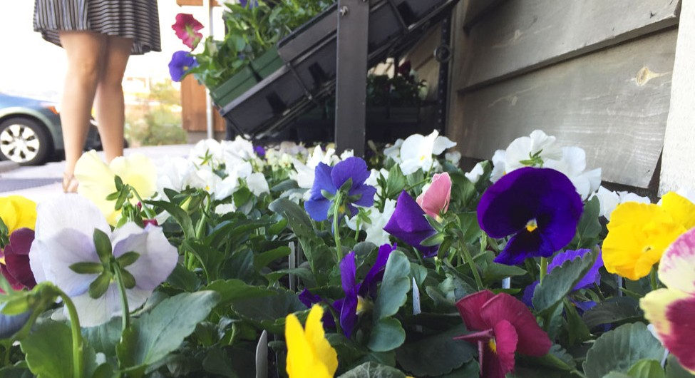 Pansies for Planting!
